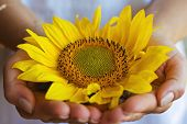 stock photo of spanking  - Woman hold delicate a sunflower in her hands - JPG