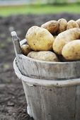stock photo of potato-field  - Harvested potatoes in an old wooden bucket - JPG