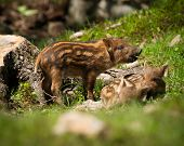 stock photo of baby pig  - A group of baby wild boar or wild pigs  - JPG