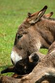 image of wild donkey  - donkey with her calf in the grass - JPG