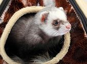 stock photo of ferrets  - Young ferret sticking out of the house - JPG