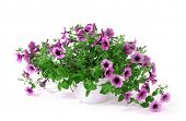 picture of petunia  - Purple petunia in flowerpot isolated on white - JPG