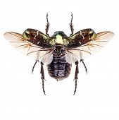pic of flying-insect  - Flying insect cetonia aurata  - JPG