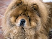 Portrait Of Chow Chow Dog poster
