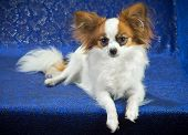 picture of epagneul  - Young dog of breed papillon on a blue background - JPG