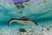 stock photo of stingray  - spotted eagle ray and stingray in the tropical ocean - JPG