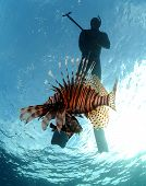 foto of spearfishing  - Spearfishing a lionfish in the Atlantic Ocean - JPG