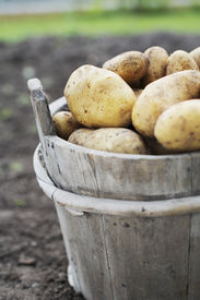 picture of potato-field  - Harvested potatoes in an old wooden bucket - JPG