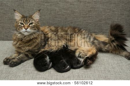 Cat Milk Feeding Her Kittens