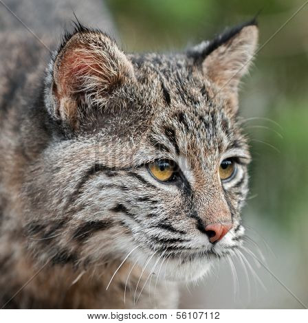 Bobcat (Lynx rufus) Looks Right Closeup