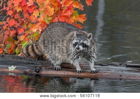Raccoon (Procyon lotor) Stands On Log In Water