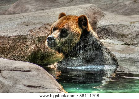 Grizzly (brown) Bear In Hdr