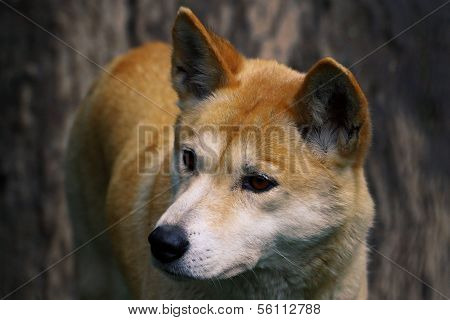 Dingo Closeup