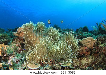 Anemone on underwater coral reef in sea