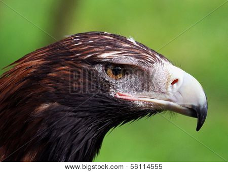 Wedge-Tailed Eagles Closeup