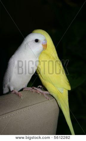 White and Yellow Budgi...
