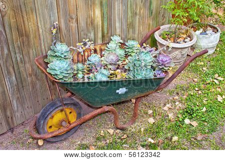 Wheelbarrow With Desert Roses In Garden Setting