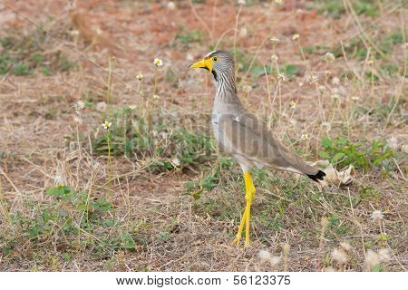 Profile Of An African Wattled Plover (vanellus Senegallus)