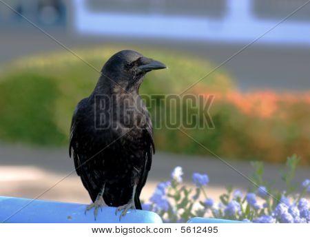 Black crow on blue rail