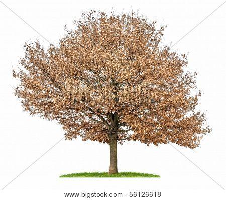 an isolated oak tree with autumn foliage
