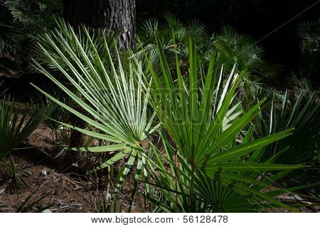 Fan Palm Chamaerops Humilis In Dark Surrounding