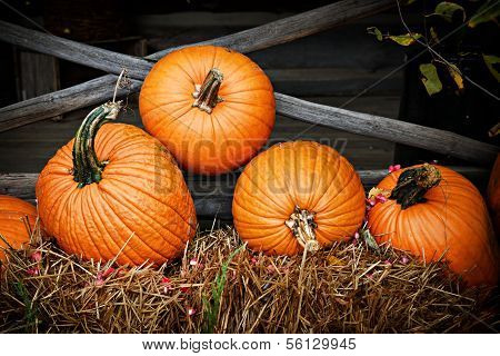 Pumpkins along the fence