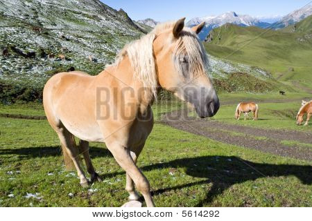 Haflinger Horse Closeup