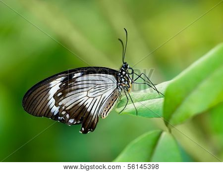 African Swallowtail butterfly