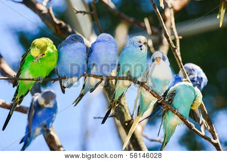Budgie (parakeet) birds on tree branch