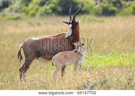Blesbok Antelope And Calf
