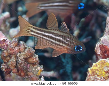 Ochre-striped Cardinalfish