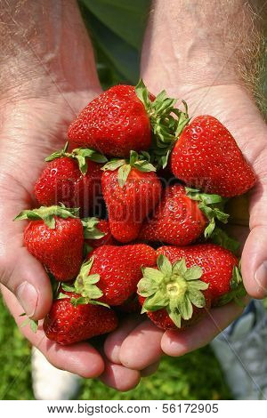 Male Hands Filled With Ripe Strawberries