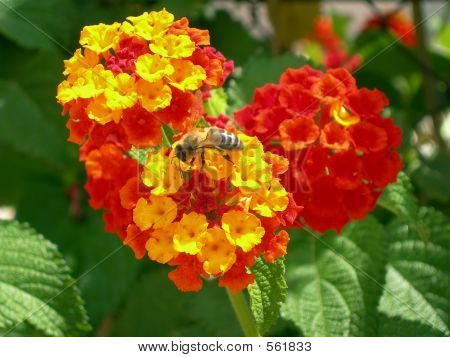 Picture or Photo of Bumble bee in red and yellow flowers recollecting nectar