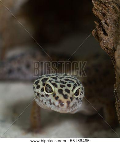 Smiling Leopard Gecko On Desert