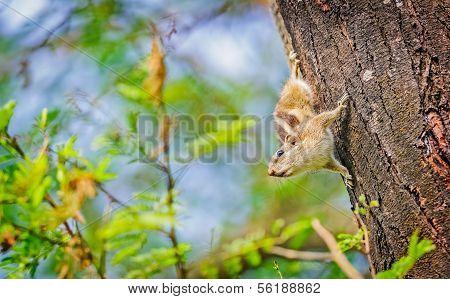 Indian Palm Squirrel, Funambulus Palmarum, On A Tree Trunk