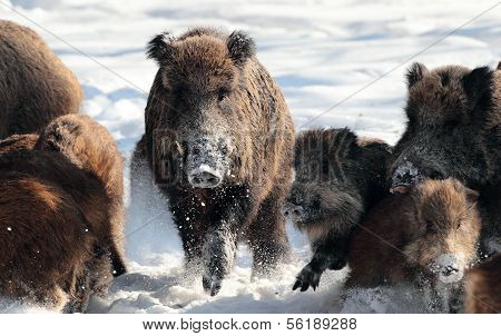 Wild boar with young baby boar