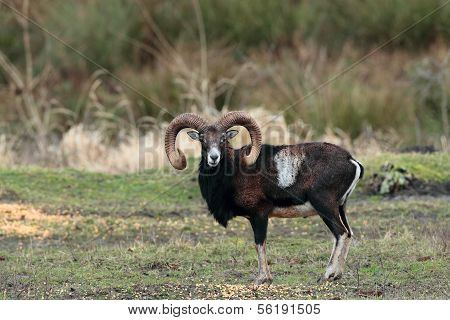 Mouflon male standing in a forest