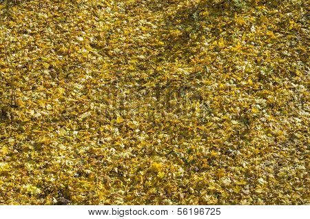 Background Formed By Fallen Maple Leaves.