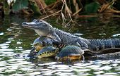 foto of alligator  - The American Alligator located in the Everglades of south Florida - JPG