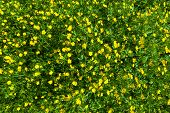 stock photo of buttercup  - Ranunculus acris  - JPG