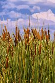 stock photo of cattail  - Vector Image of Cattails  - JPG