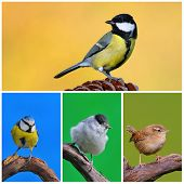 foto of great tit  - Great tit blue tit blackcap in garden - JPG