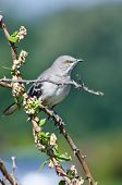 stock photo of mockingbird  - A Northern Mockingbird Perched in a Tree - JPG