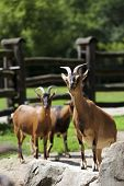 pic of loach  - Family of goats in the clearing - JPG