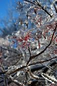 picture of freezing temperatures  - Photo of tree branches covered by ice after freezing rain - JPG