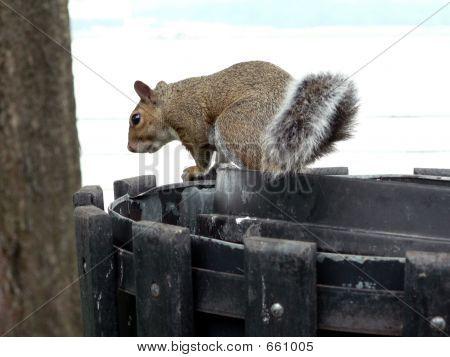 Eichhörnchen - Einkaufen für das Abendessen 4