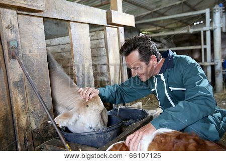 Cheerful farmer feeding cows in barn