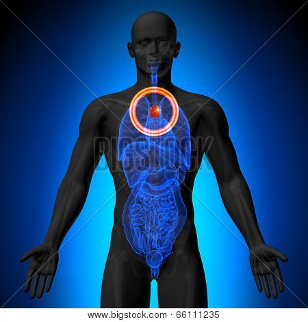 Thymus - Male anatomy of human organs - x-ray view