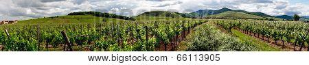 Vivid Colors Of Vineyards