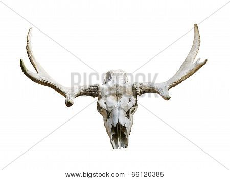 Moose Skull With Antlers On White Background